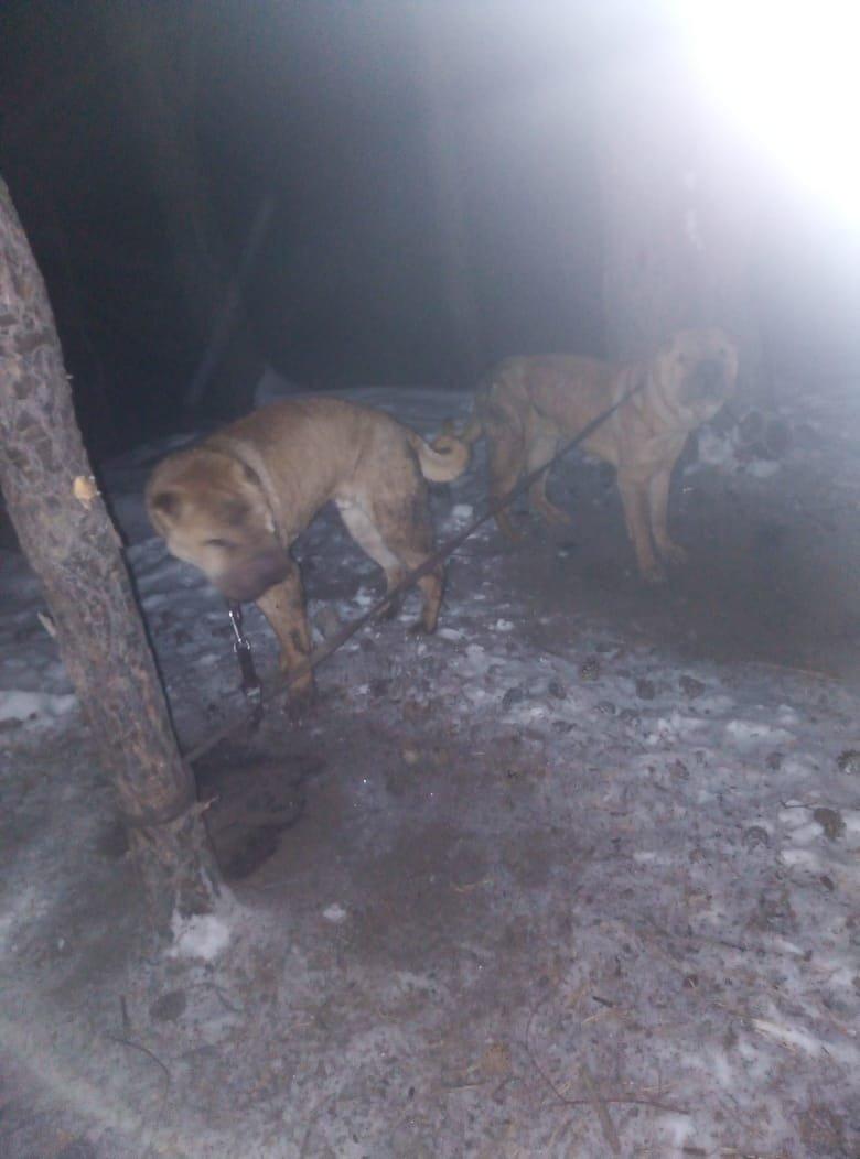 Неравнодушные жители Кыштыма вычислили хозяйку шарпеев, которая оставила собак замерзать в лесу