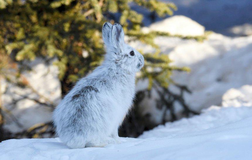 В кыштымских лесах больше всего обитает зайцев и лосей