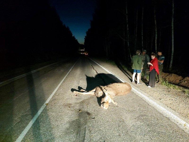 В Кыштымском округе водители сбили двух лосей