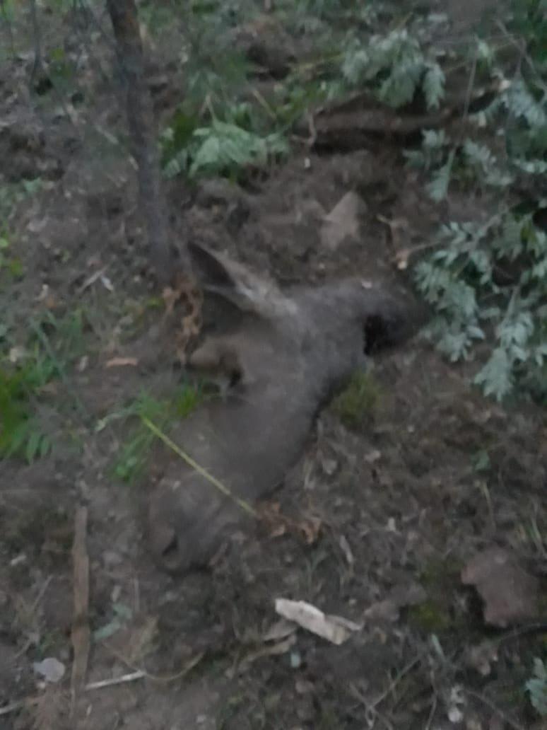 В Кыштымском округе ещё один лось погиб после ДТП